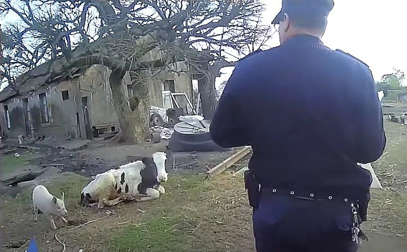 """¿Y esos chanchos? Cinco condenados y casi 500 kilos de carne en operación """"Palenque"""""""